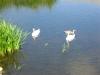 swans-under-maudlin-bridge